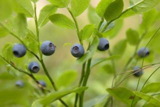 Blueberry060